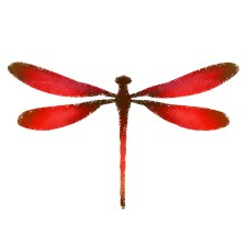 Red dragonfly drawing