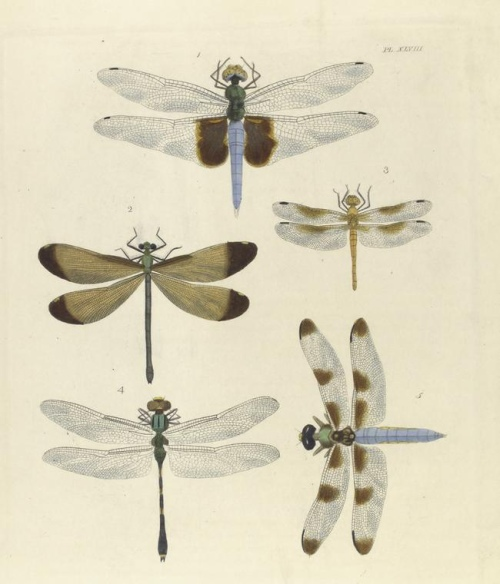 Assorted dragonflies