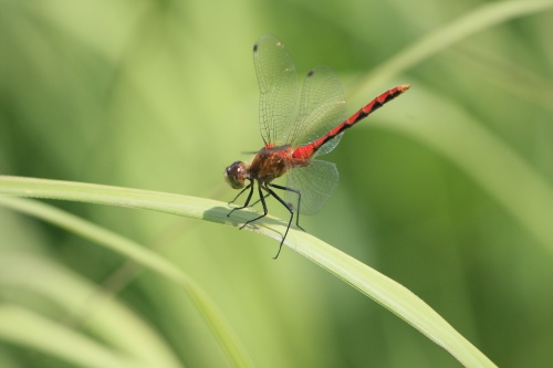 Red dragonfly perched on grass