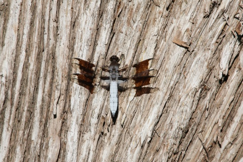 Dragonfly on bark