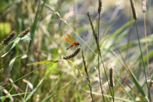 Red dragonfly in grass
